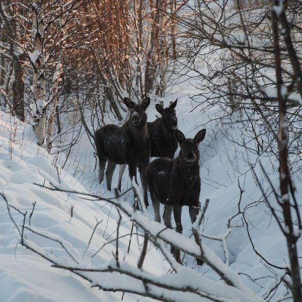 Foto: Moose Garden,  © Copy: Visit Östersund, Tre älgar i vintermiljö