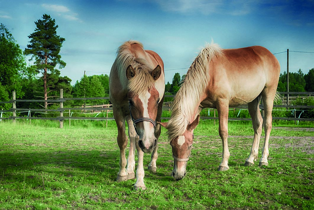 Spend a day at a Finnish horse ranch!