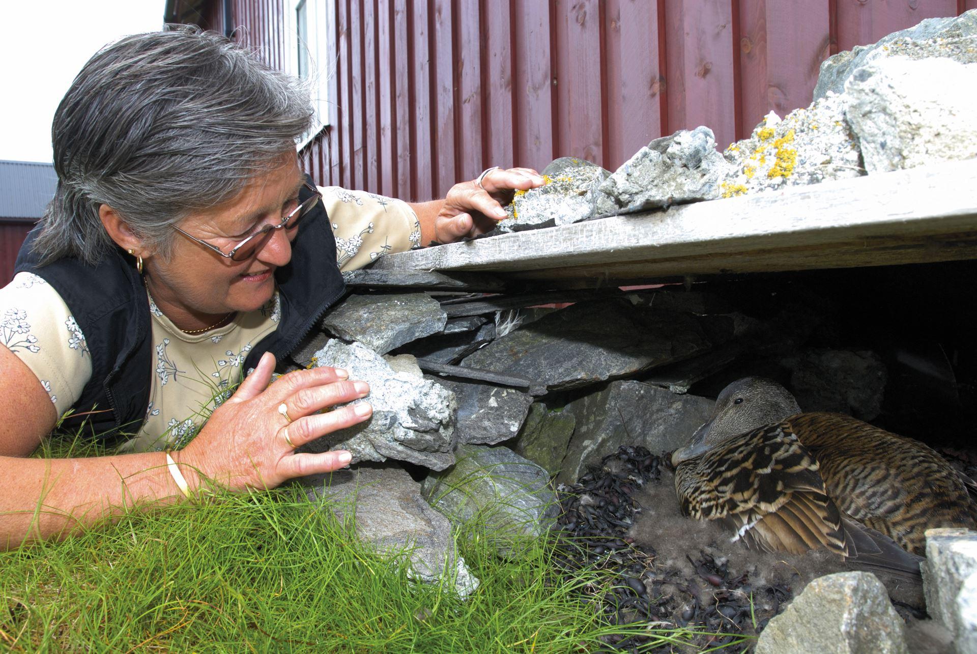 www.lanan.no,  © Utværet Lånan, Fuglevokter sjekker reir