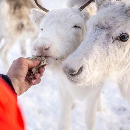 Feed the reindeer in Trillevallen