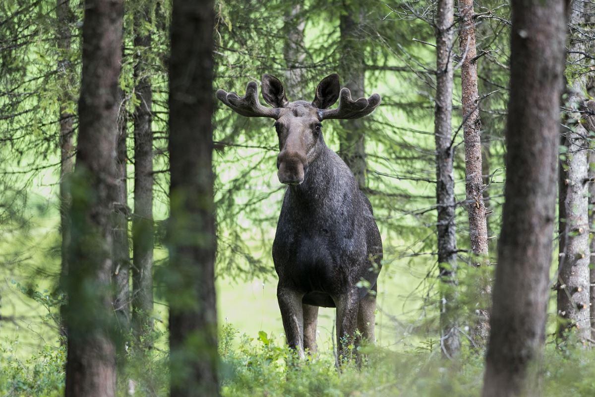 Älgsafari i Tiveden! – Naturguide Tiveden