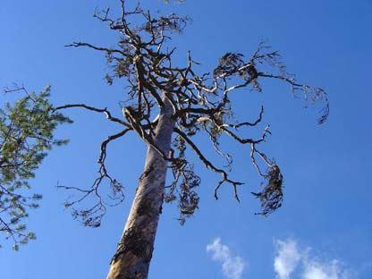 Lill-Sundsjöns naturreservat - brandpräglad tallnaturskog