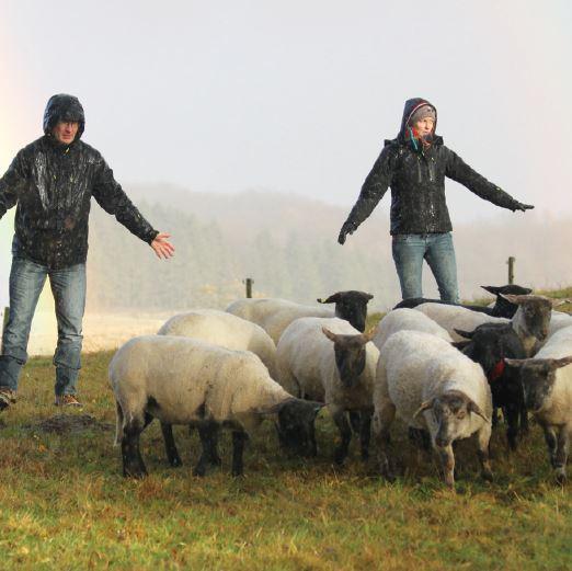 Sheep's tending