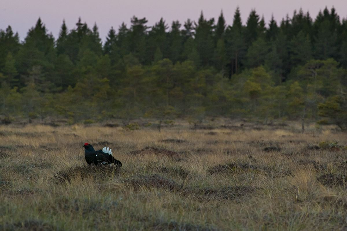 Black grouse courtship / lekk 1 day