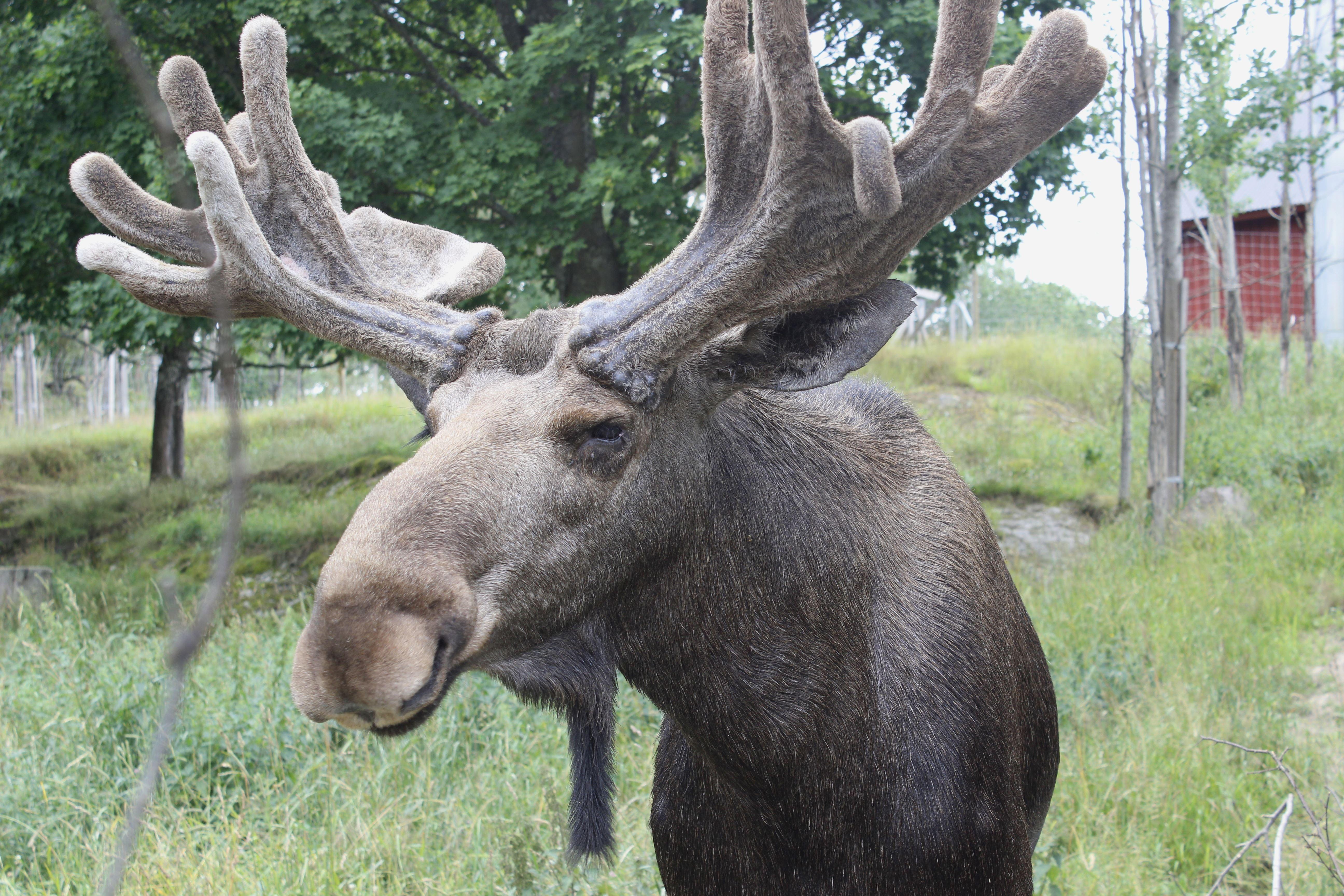 Målilla moose park