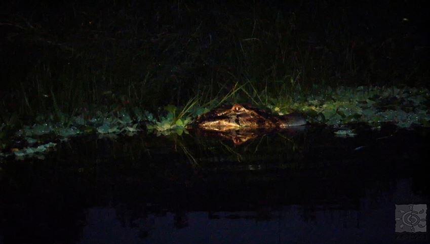 Crocodile night watch in Tela