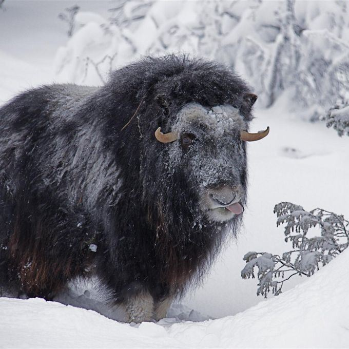 Guided muskoxtours