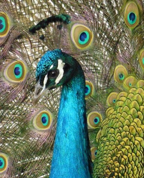 Fåglarnas konferens