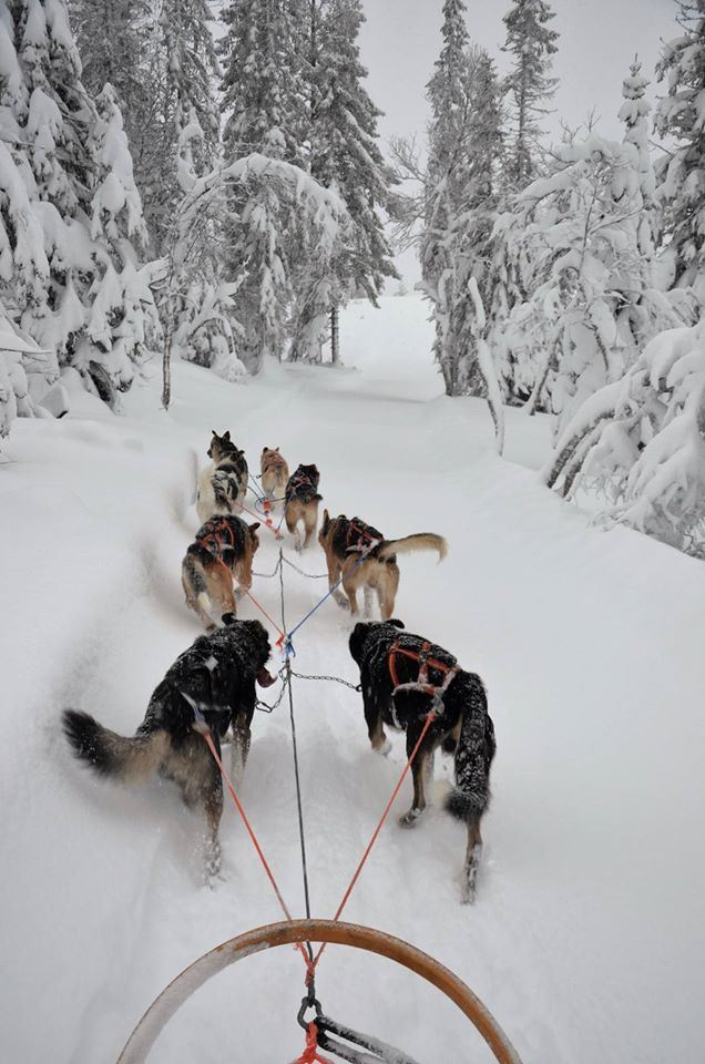 Dogsledding in Meråker