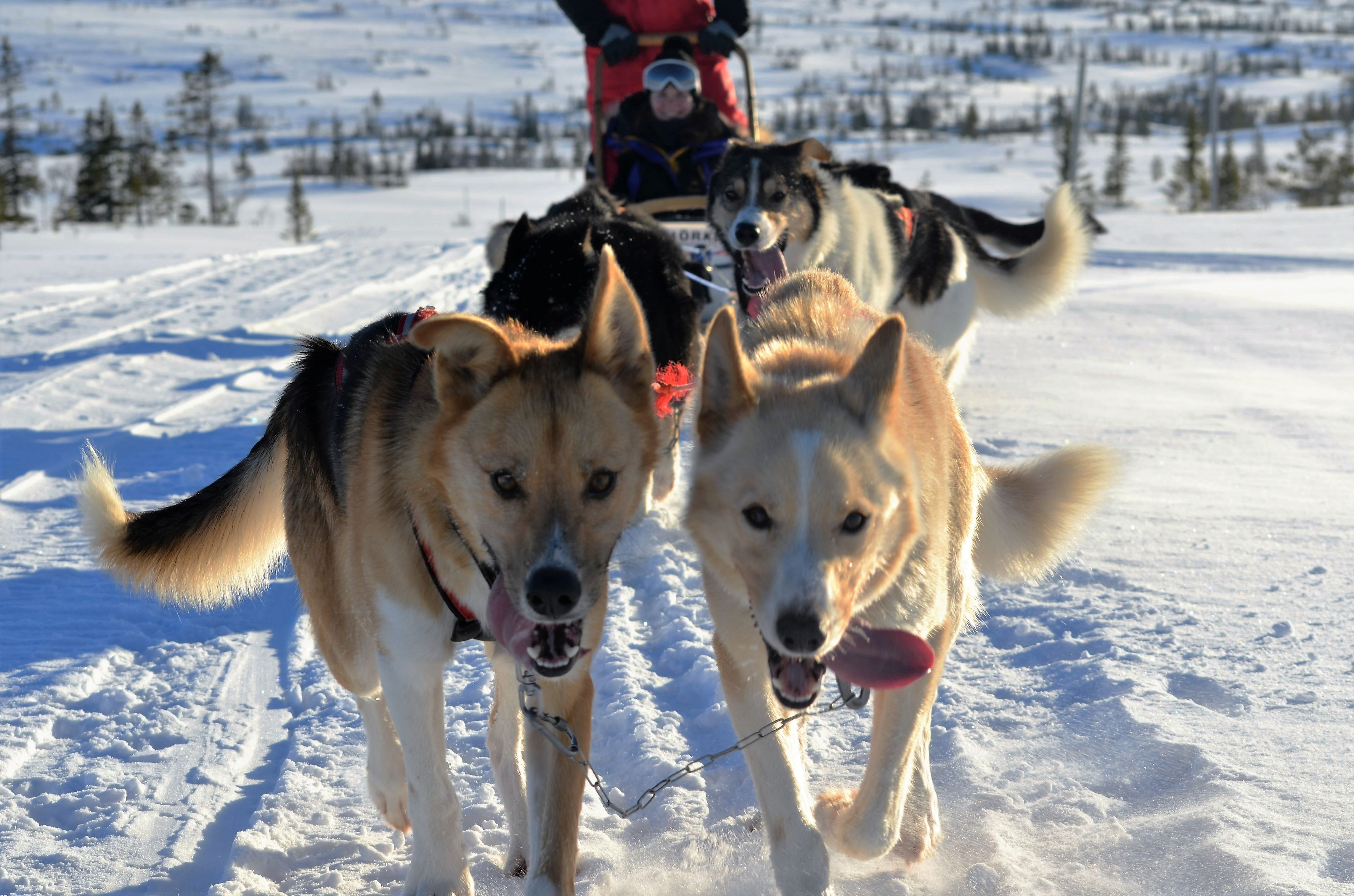 Dogsledding in Meråker