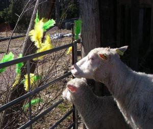 Marskogens lamm -lammastila avoinna pääsiäisenä