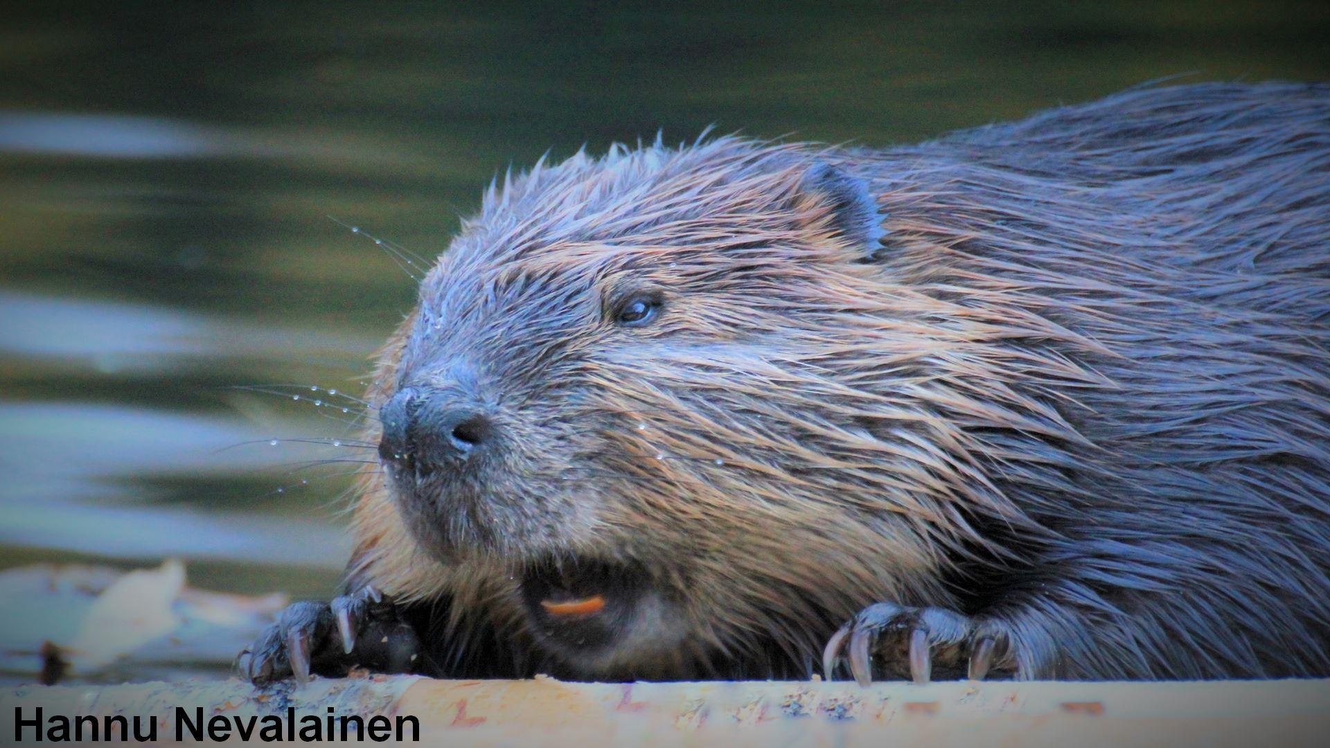 On the footsteps of beaver   Kullasmarina