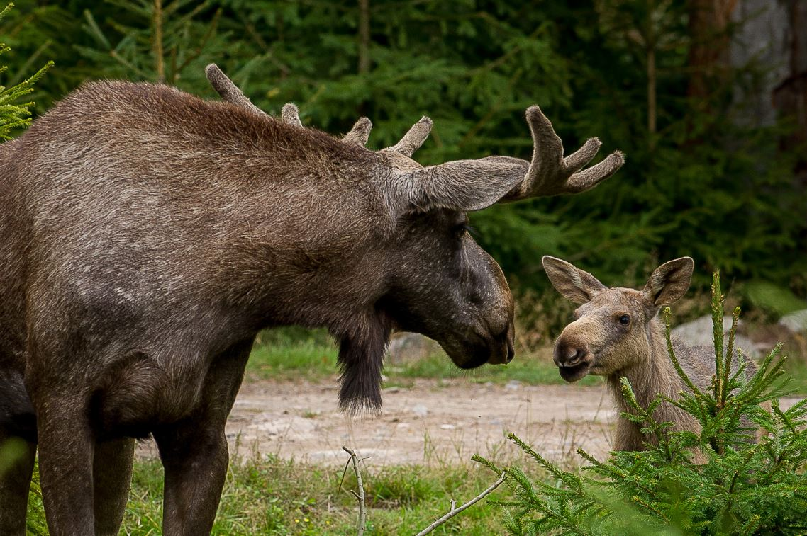 Glasriket´s Moose Park - MEET MOOSE IN THEIR NATURAL HABITAT ON A MOOSE SAFARI!