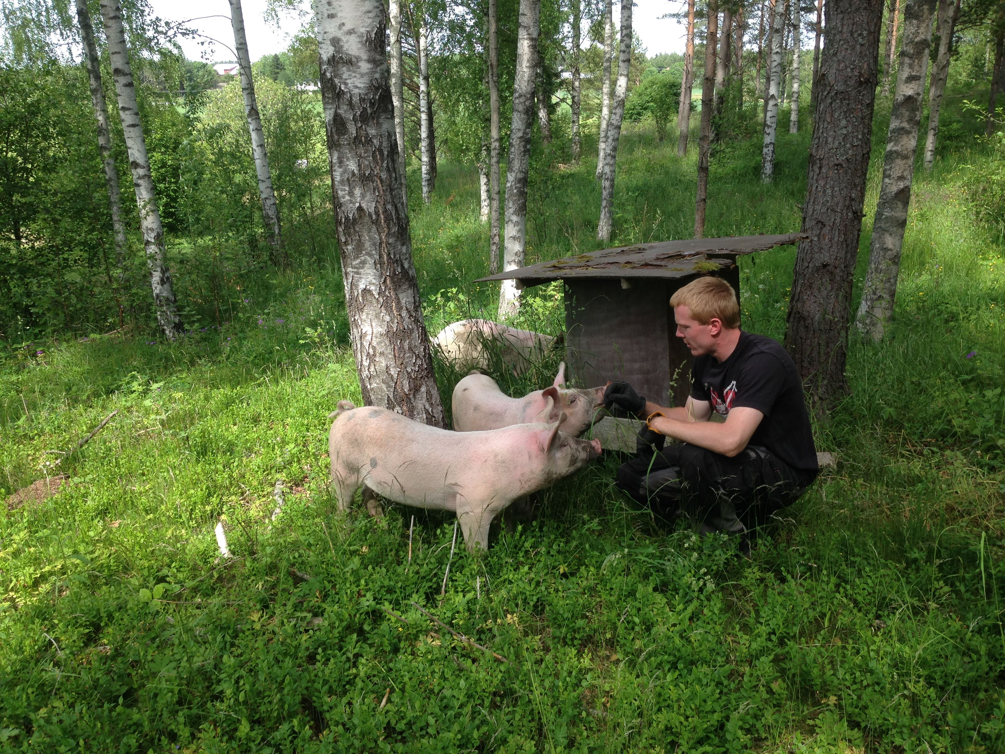 Pig safari at Nygårds forest farm
