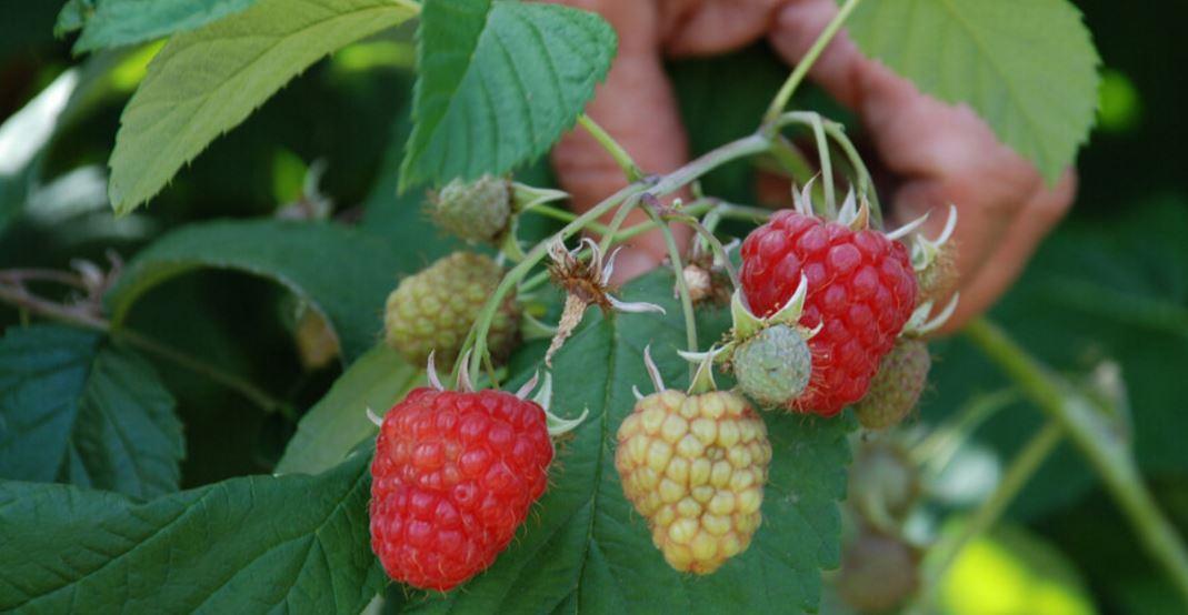 Pick Raspberries at Hallongården