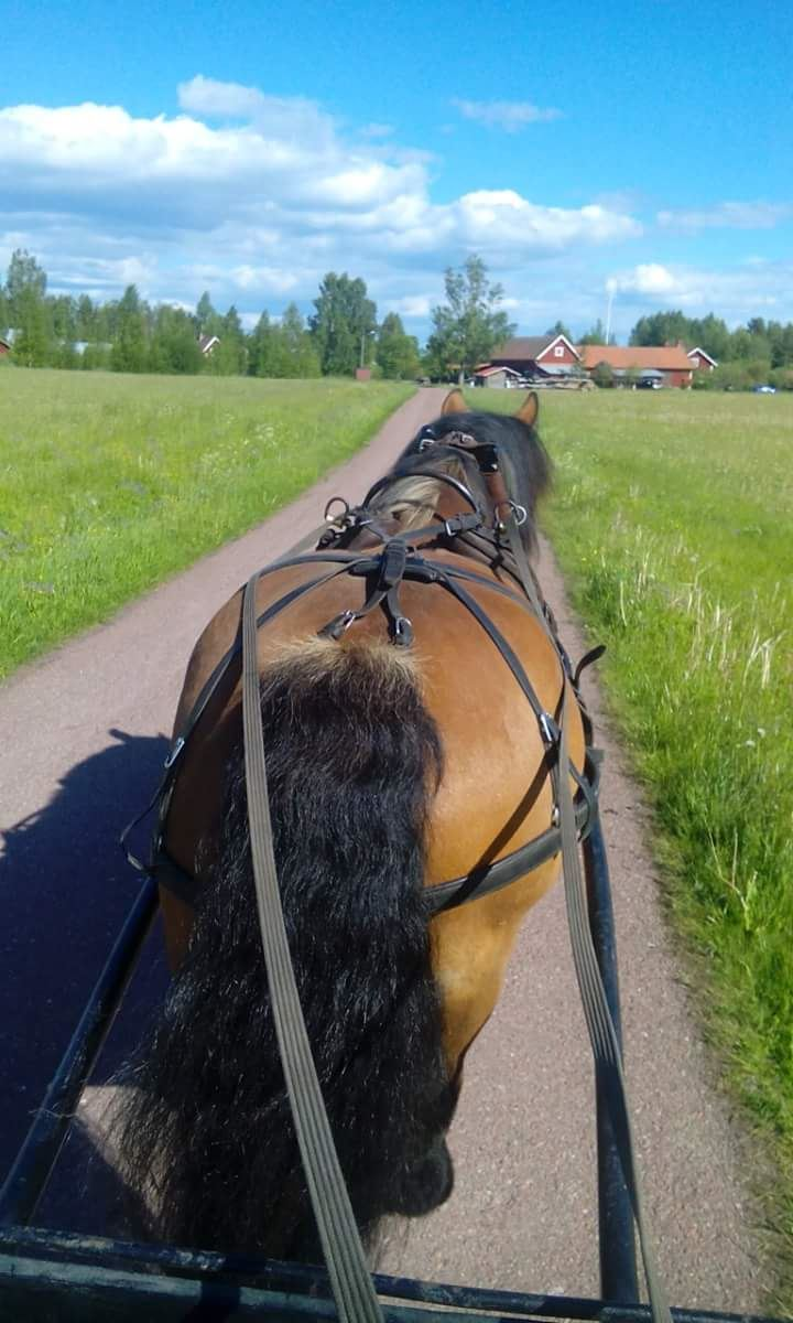 Kvällstur med häst och vagn