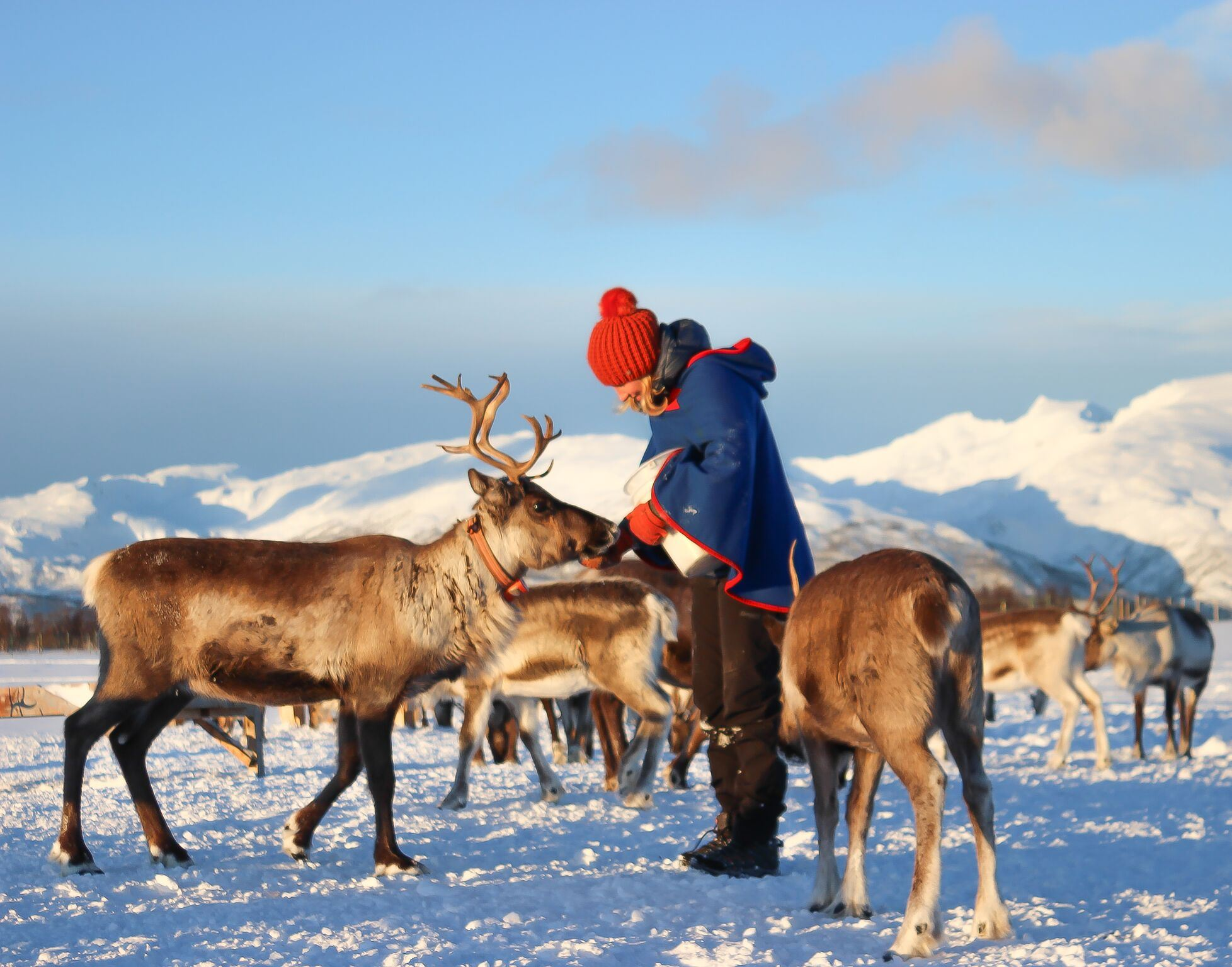 Sami Reindeer Feeding