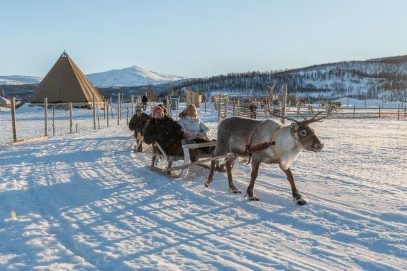 Samisk Reinsdyropplevelse