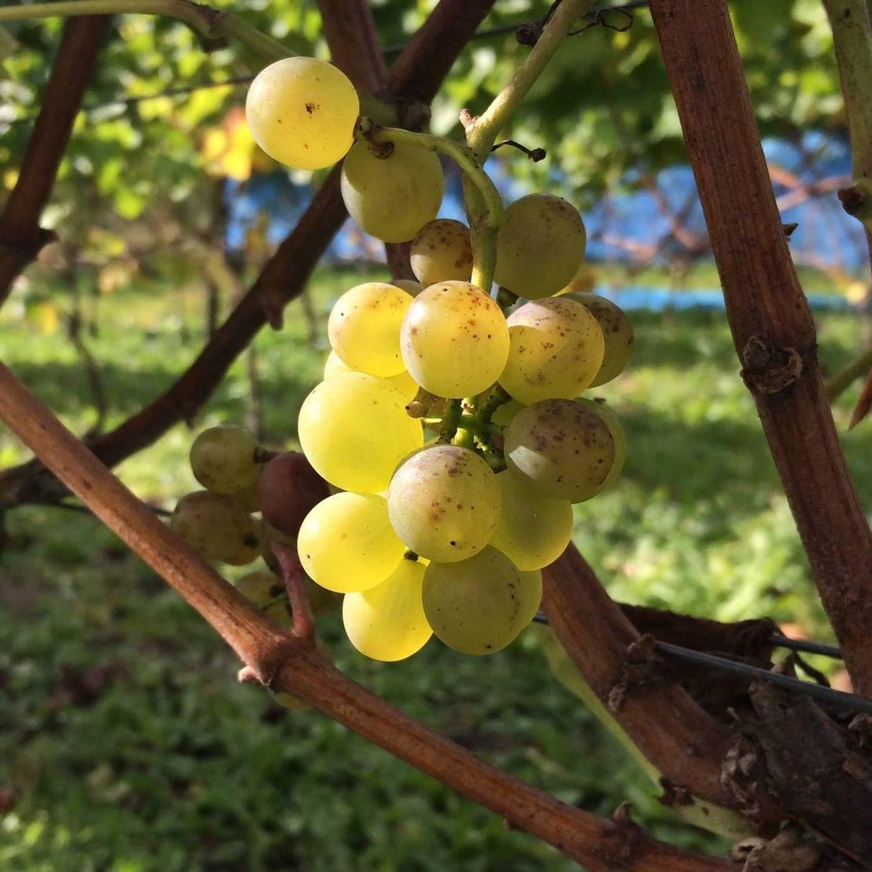 Åhus winery