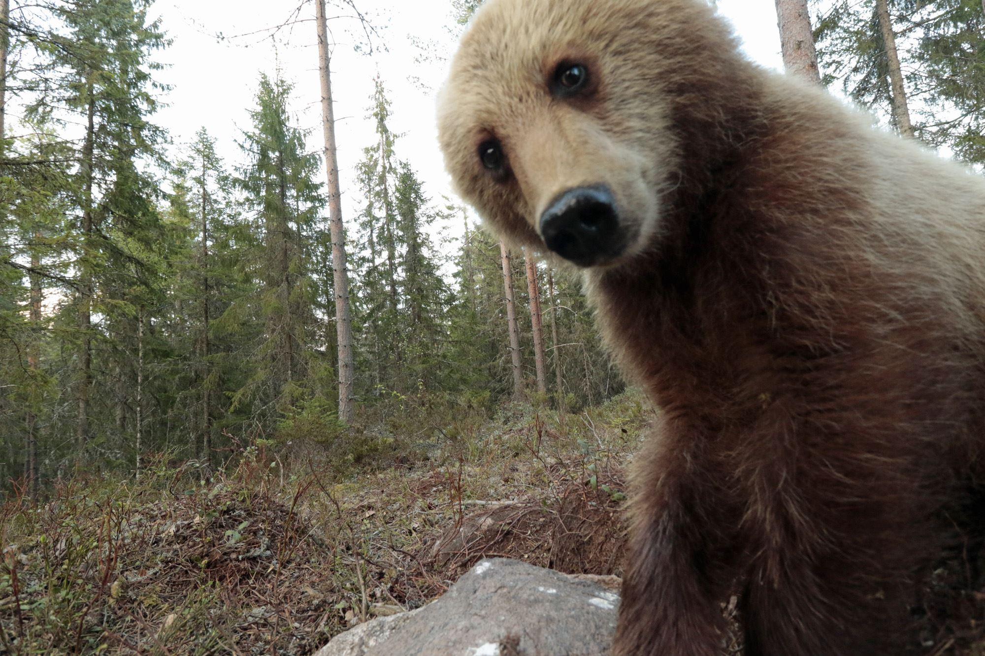 Gratis björnskådning för ungdomar