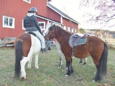 © Arkiv Hånicks Islandshästar, Hånicks Islandshästar