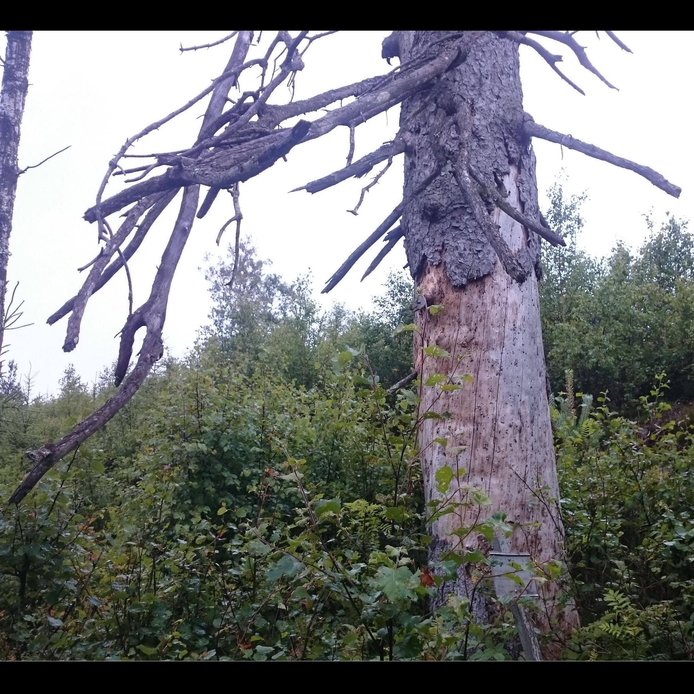 Tullberg's fir