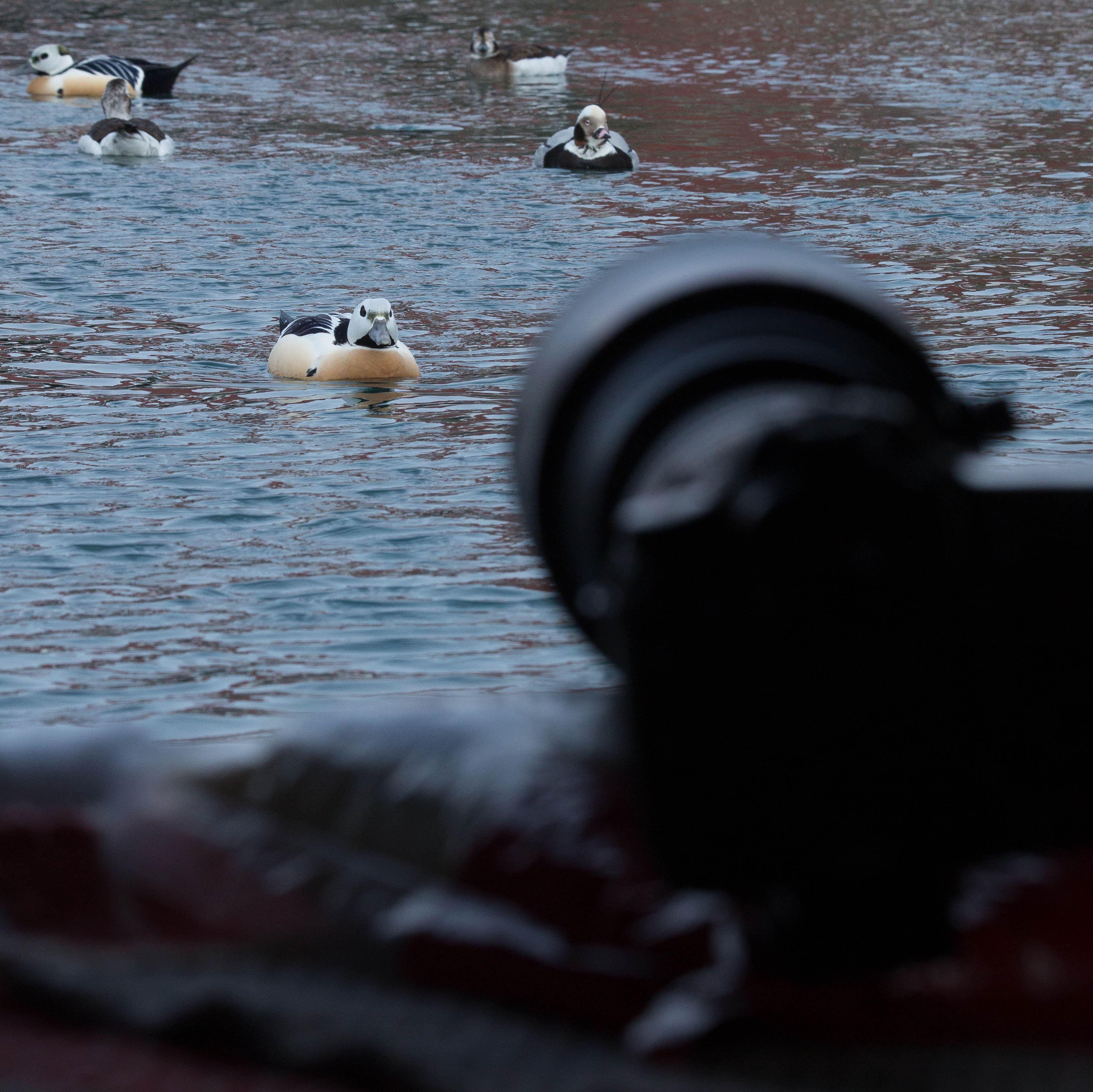 Fuglefotografering - Flytende fotoskjul i Båtsfjord Havn