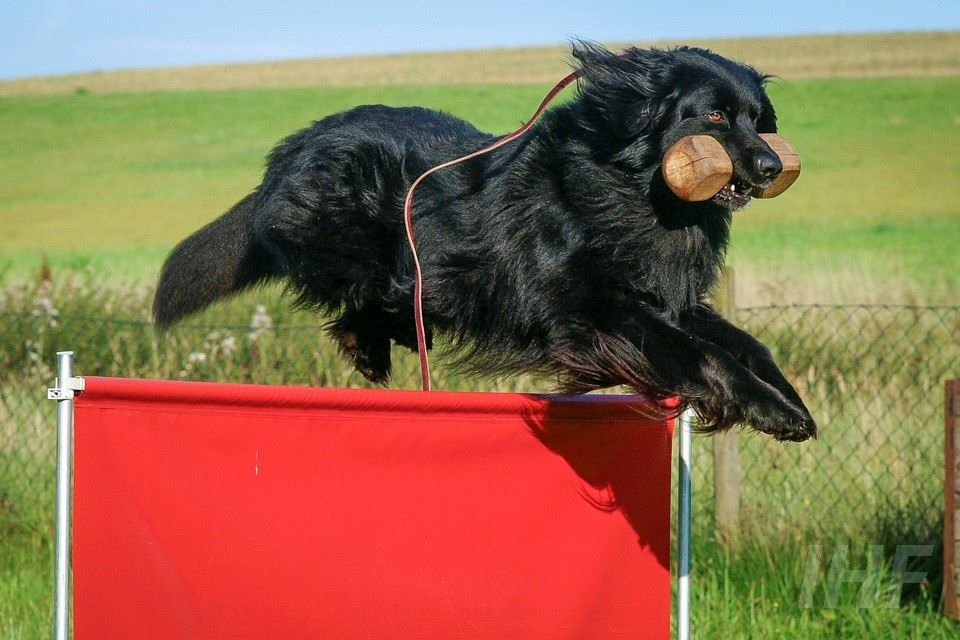 Obediance World Cup and Dog Show - Smygehuk
