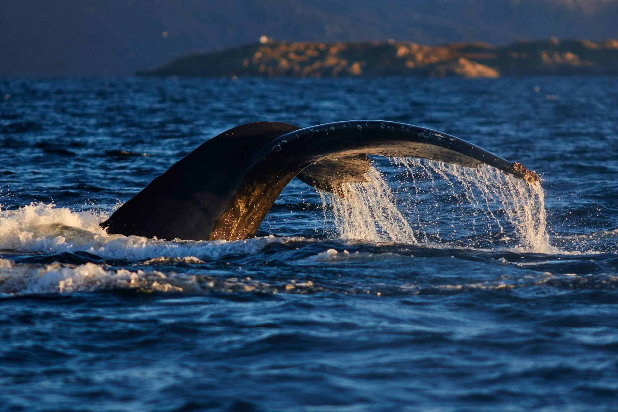Whales in Skjervøy and Crystal Lavvo overnight in Lyngen - Green Gold of Norway