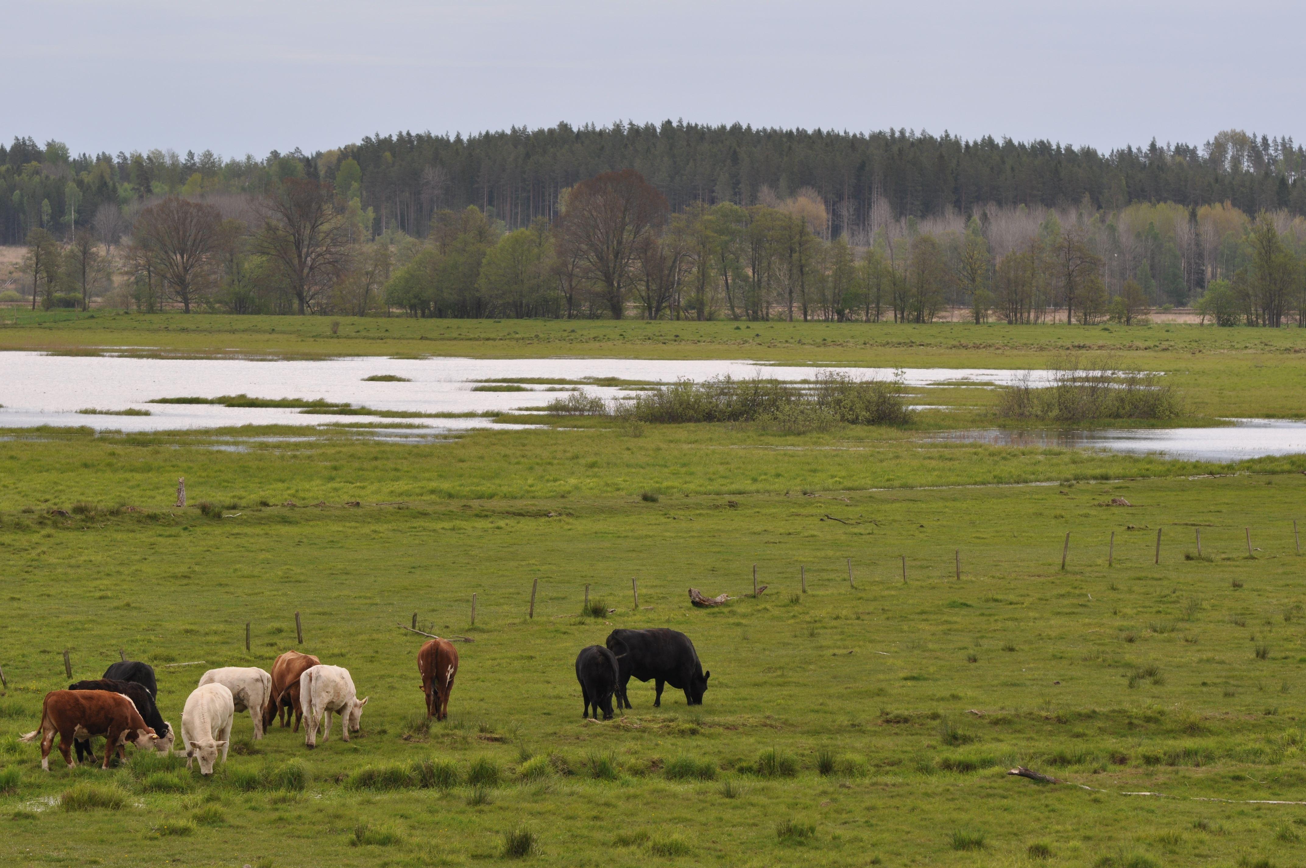 Gäss och örnar på Mörlundaslätten och i Ryningen