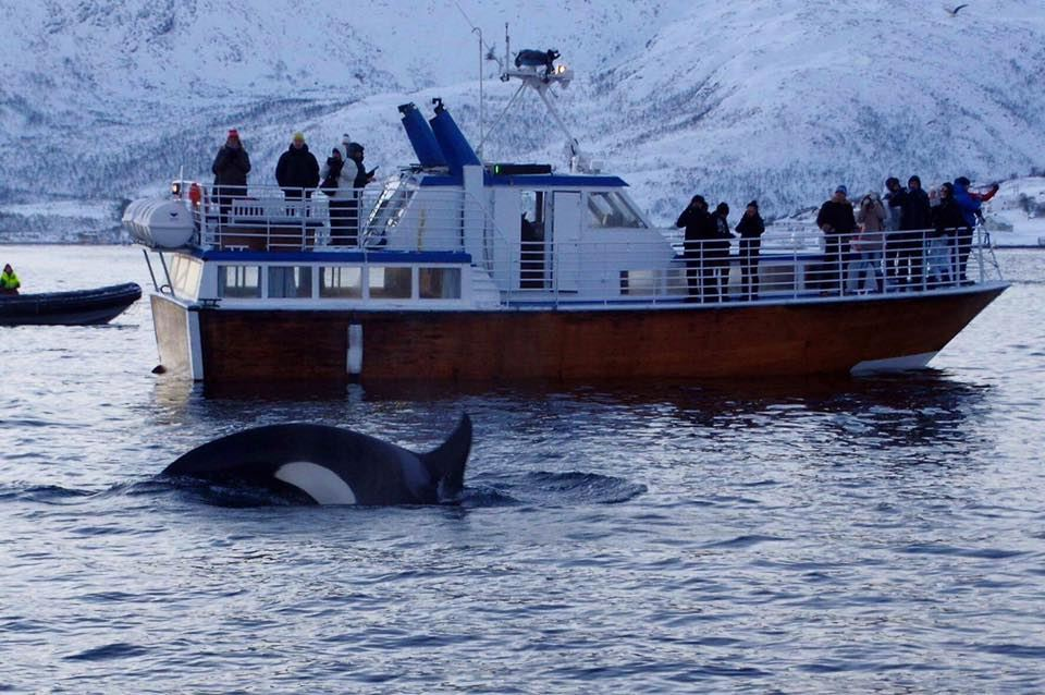 Whale Watching on the Edge of Tromsø – Aurora Alps
