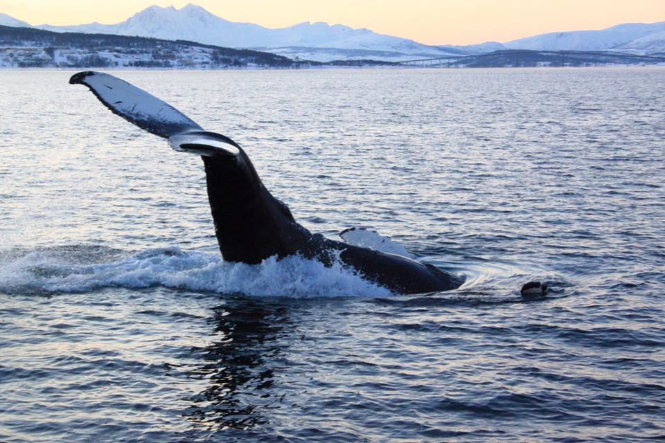 Whale watching in Magic Skjervoy!