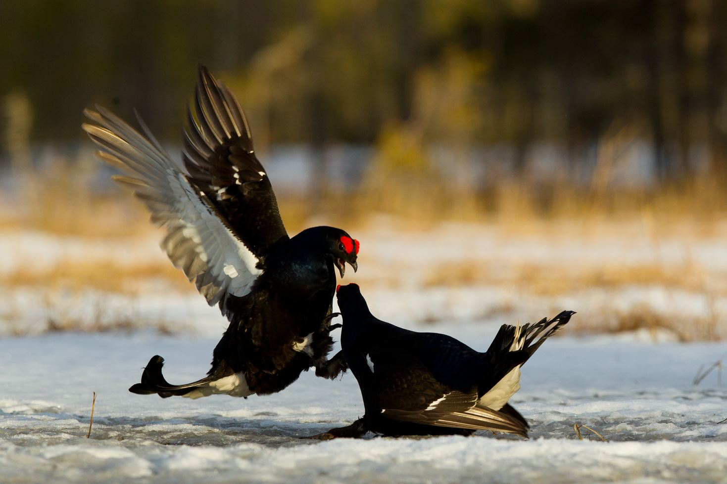 Black grouse lek from a hide