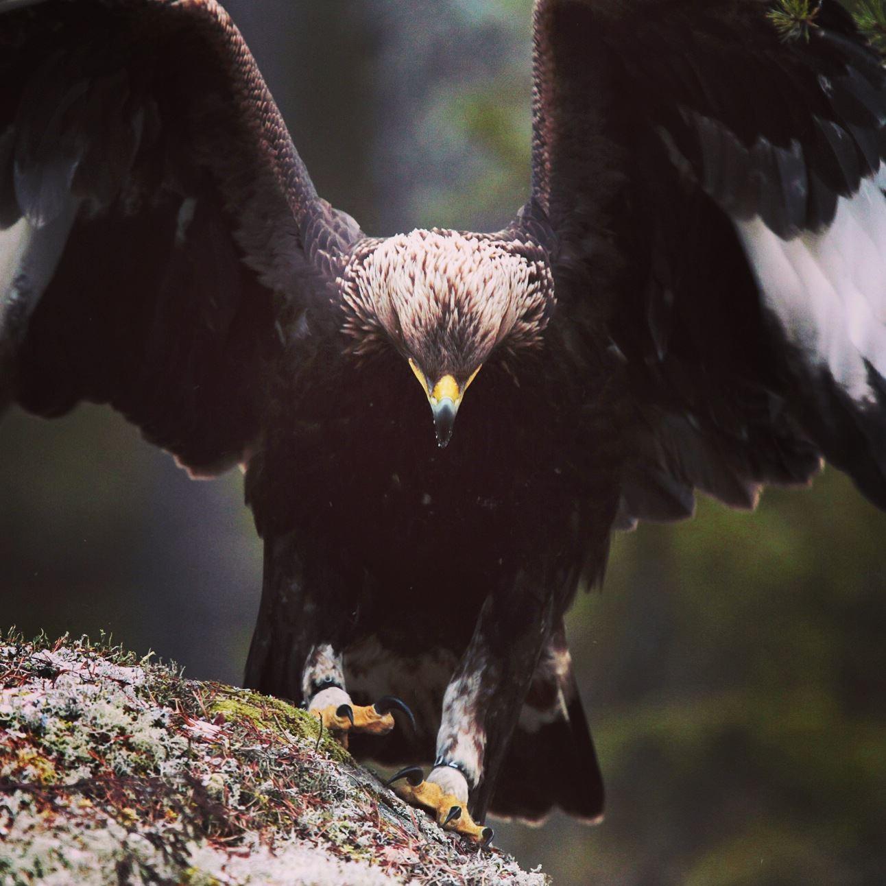 Öga mot öga med en vild örn!