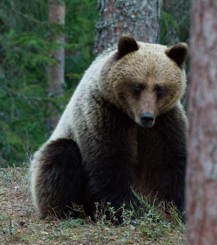 Björnskådning från gömsle