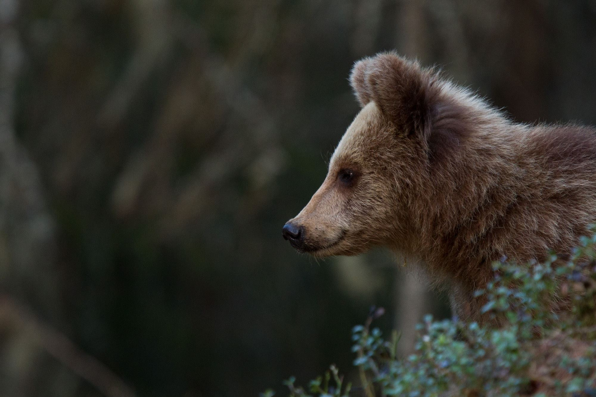 Bear watching from hide
