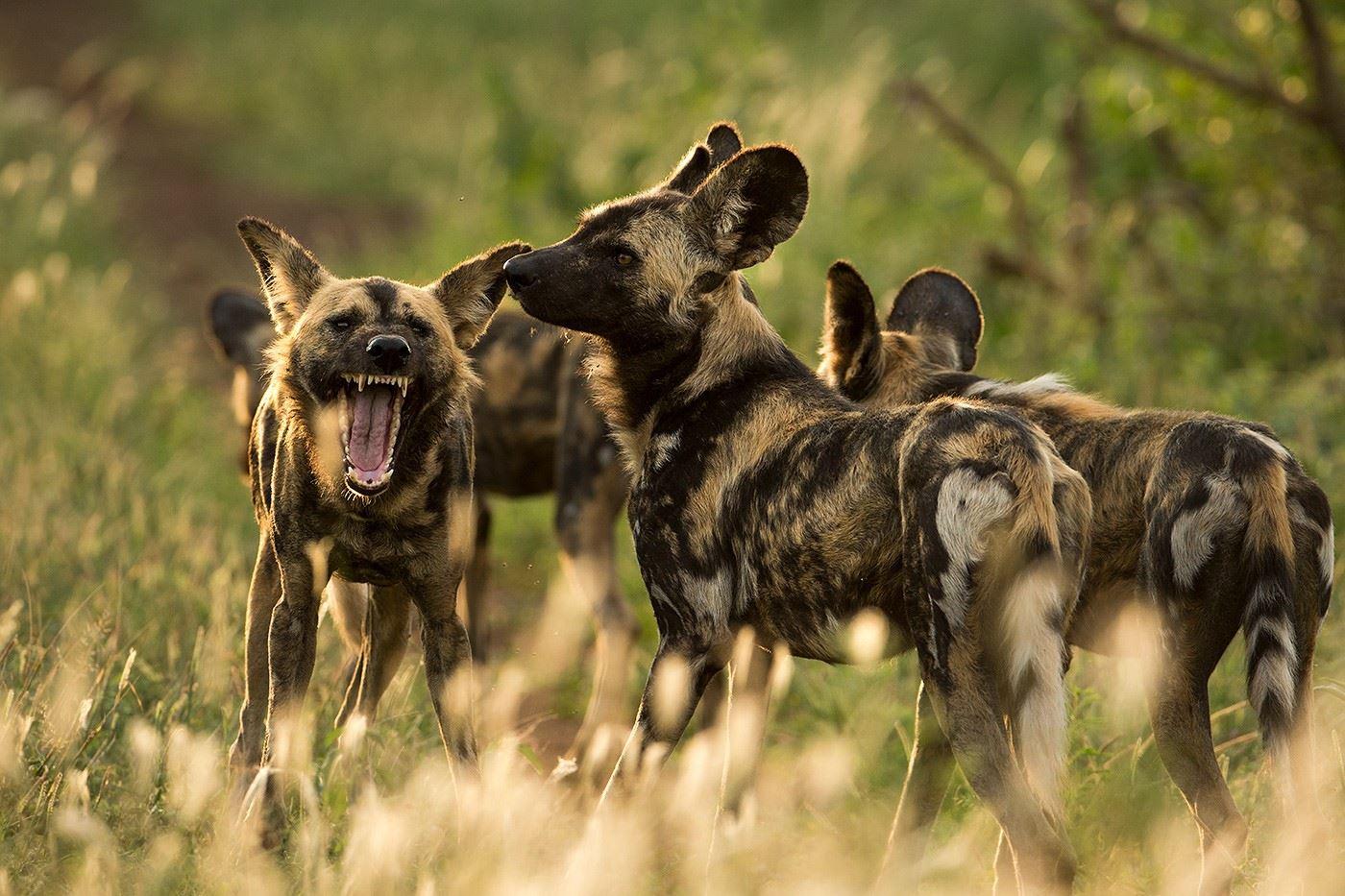 Vildhundens flykt och andra djur på krympande afrikanska savanner