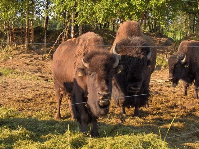 Buffalos of Tupala farm.