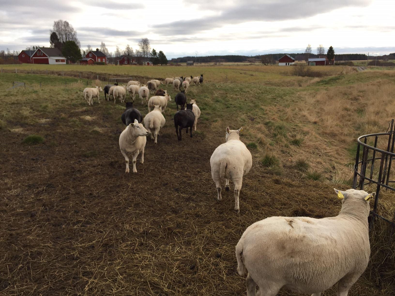Gårdsbutik Hälje gård - får