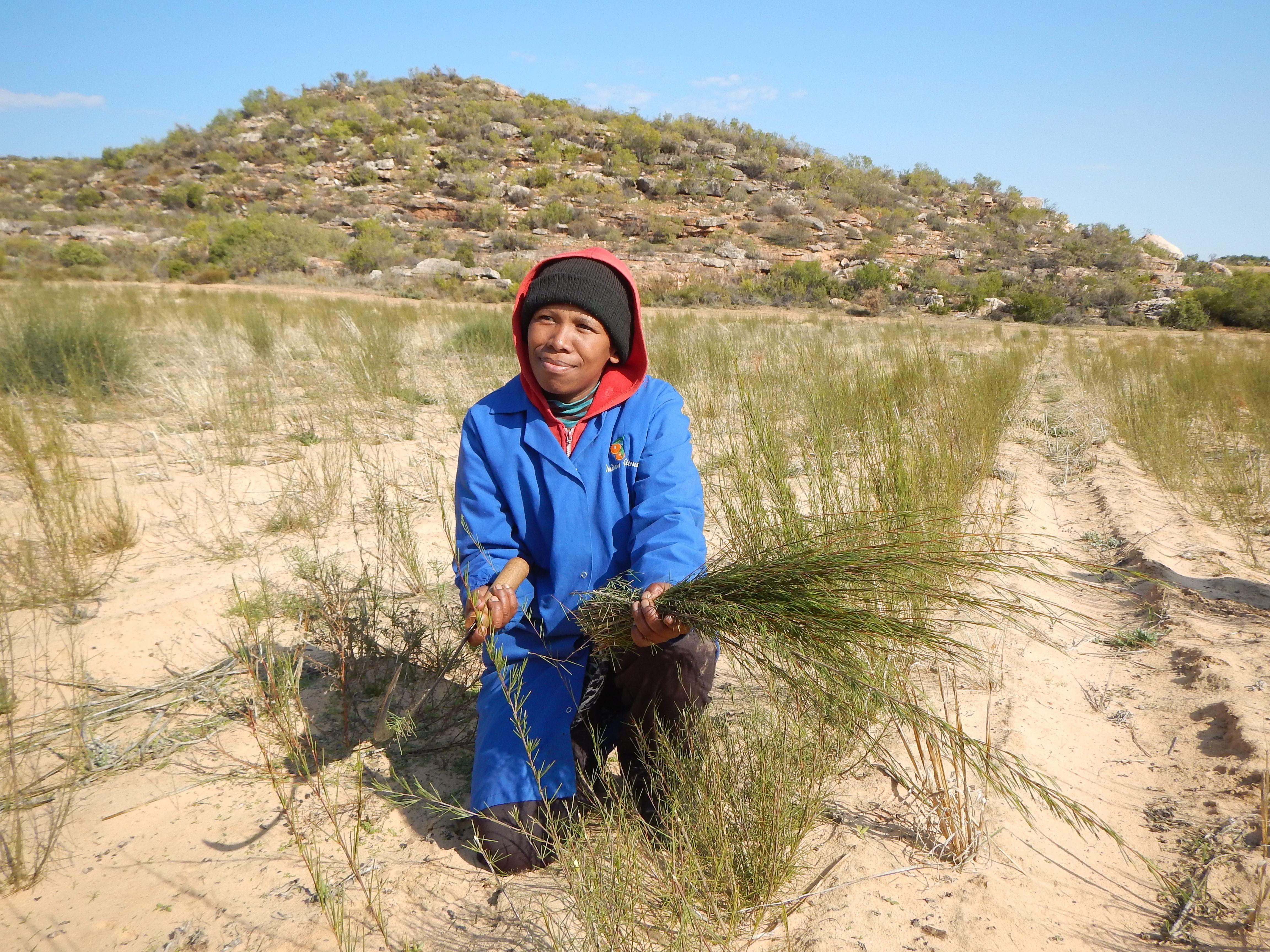 Röster från Rooibosodlare i Sydafrika