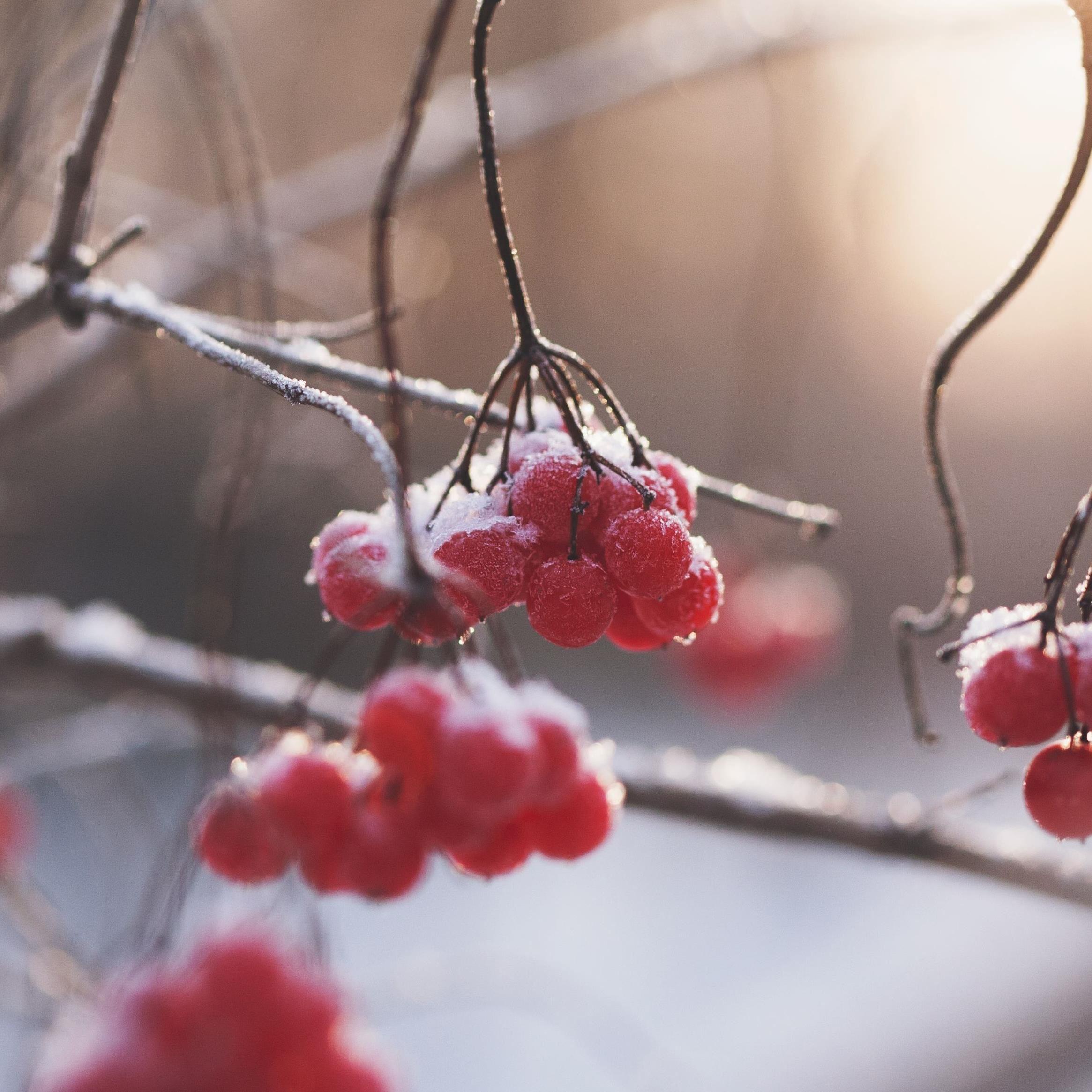 © Pexel, Röda bär på vintern