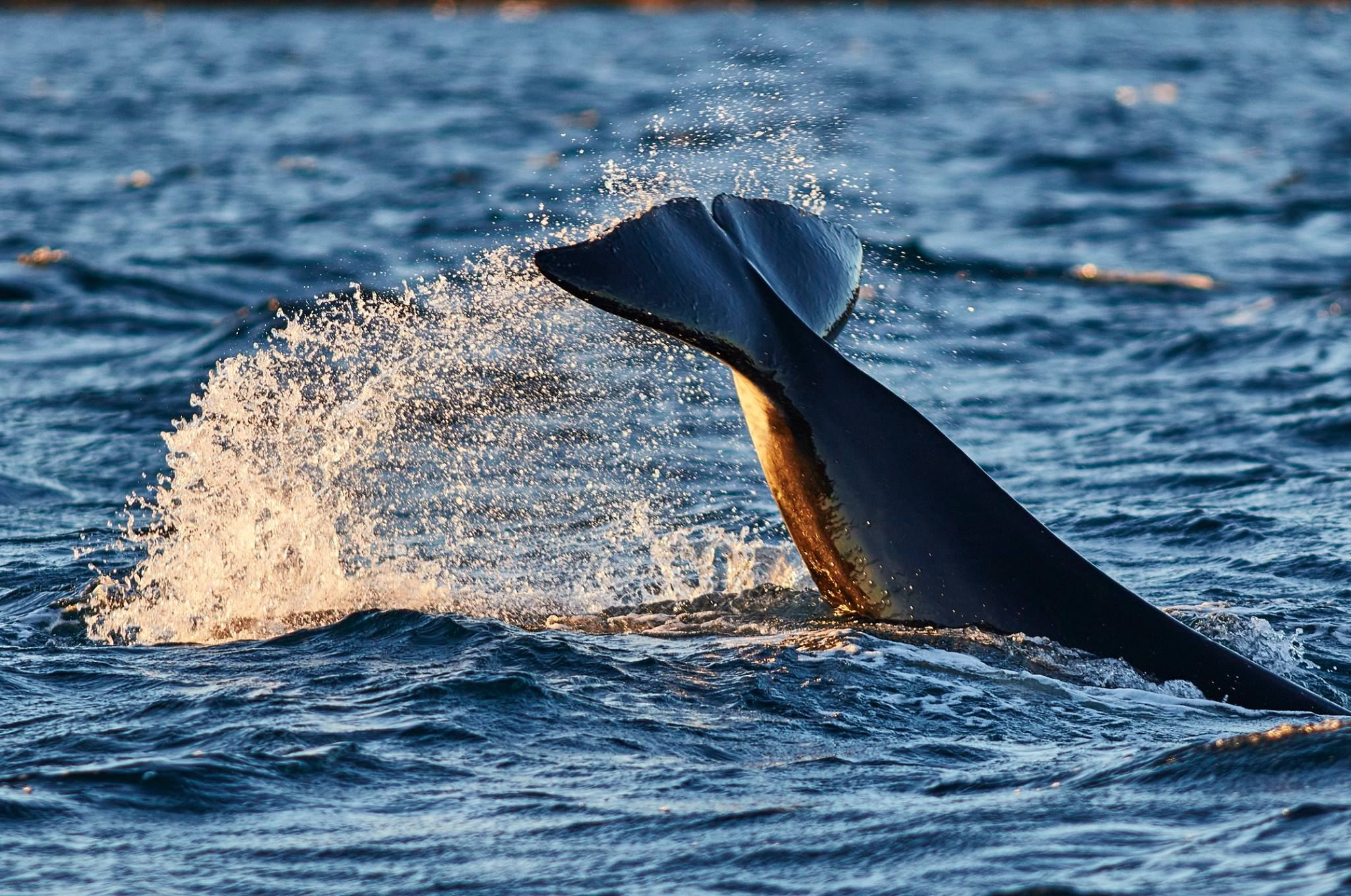Whale watching from Skjervøy - Green Gold of Norway