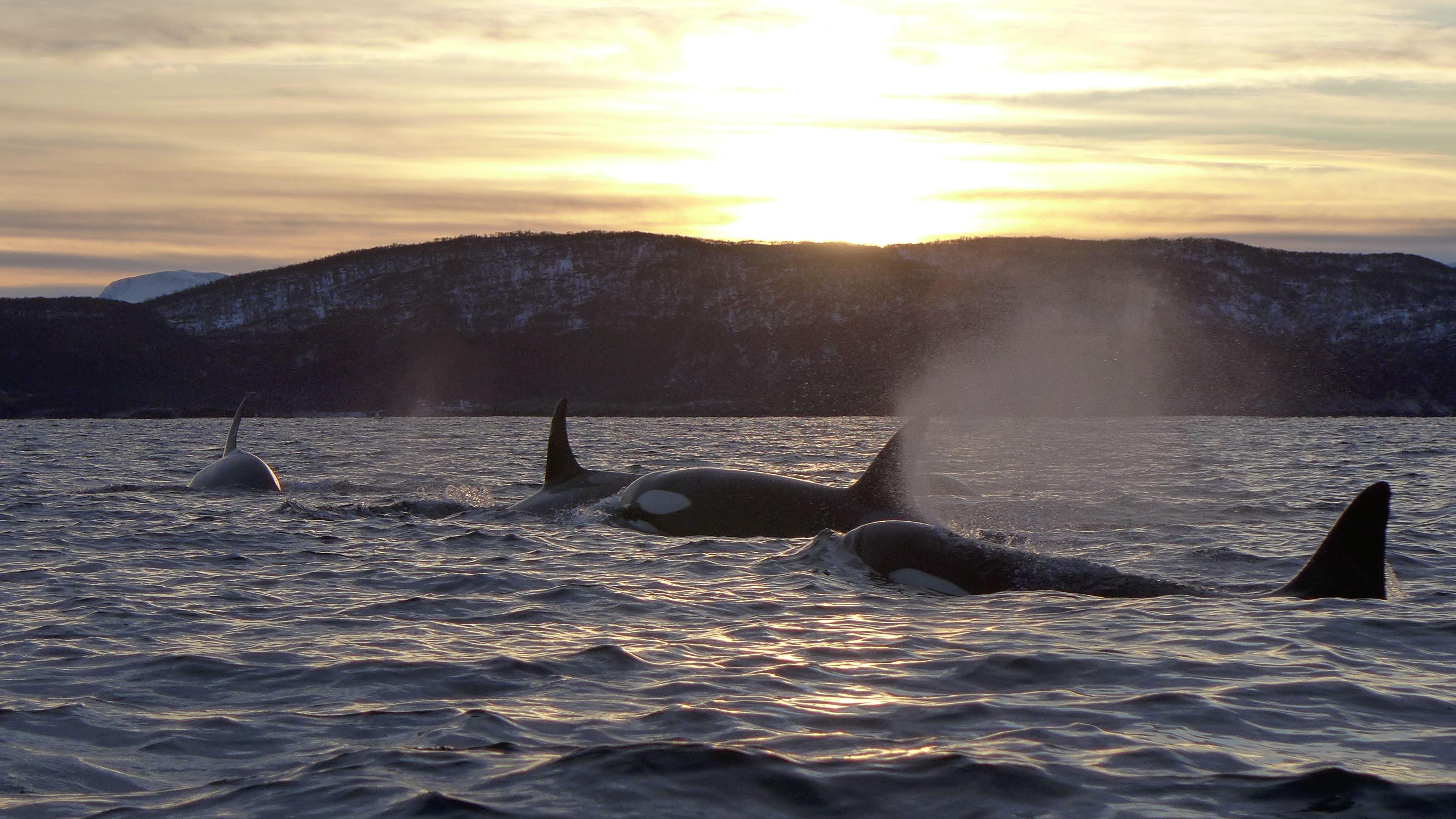 Whale safari in Skjervøy, Kvænangen and Reisafjorden - Reisafjord Hotel