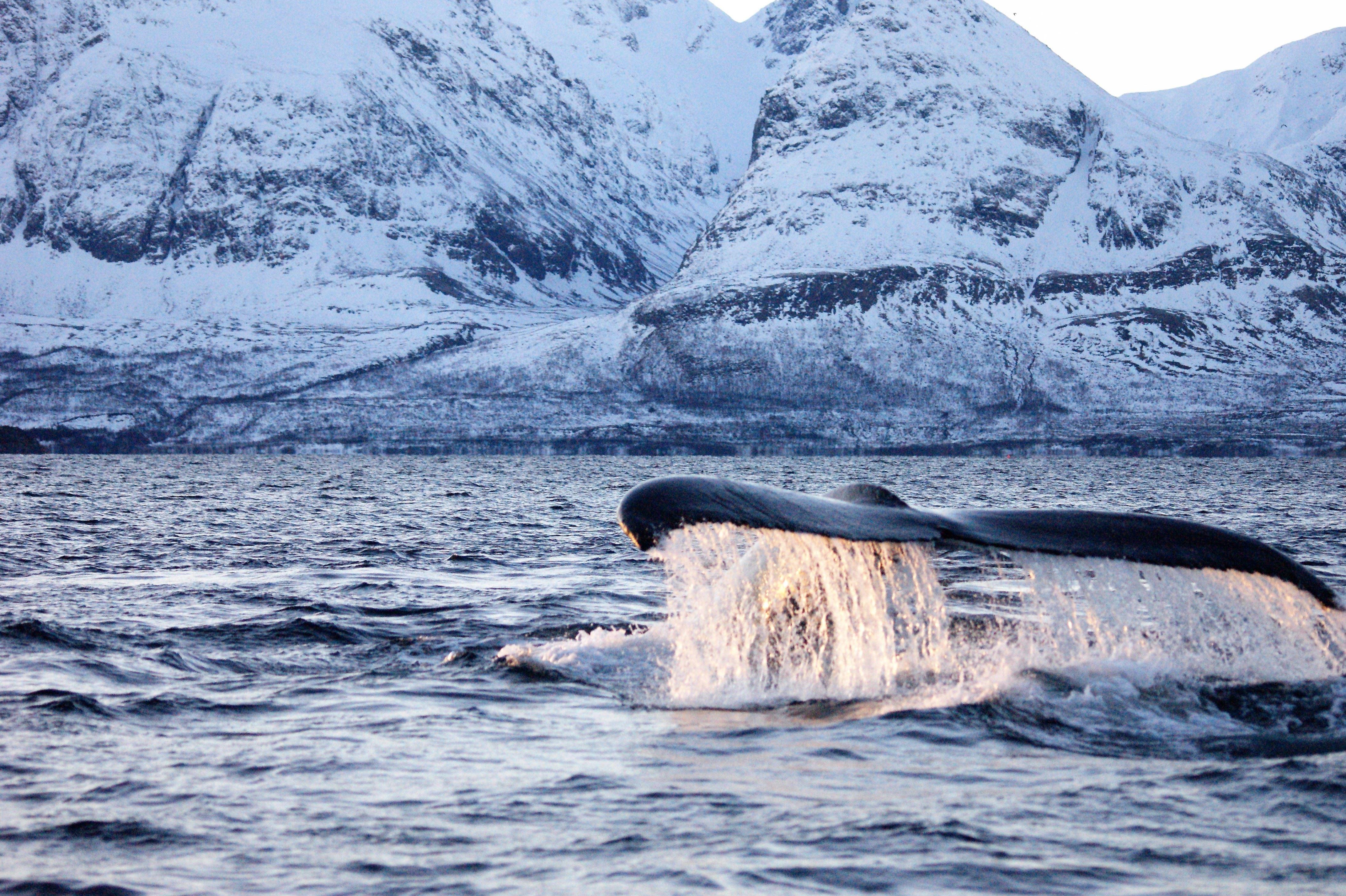 Skjervøy Whale Safari