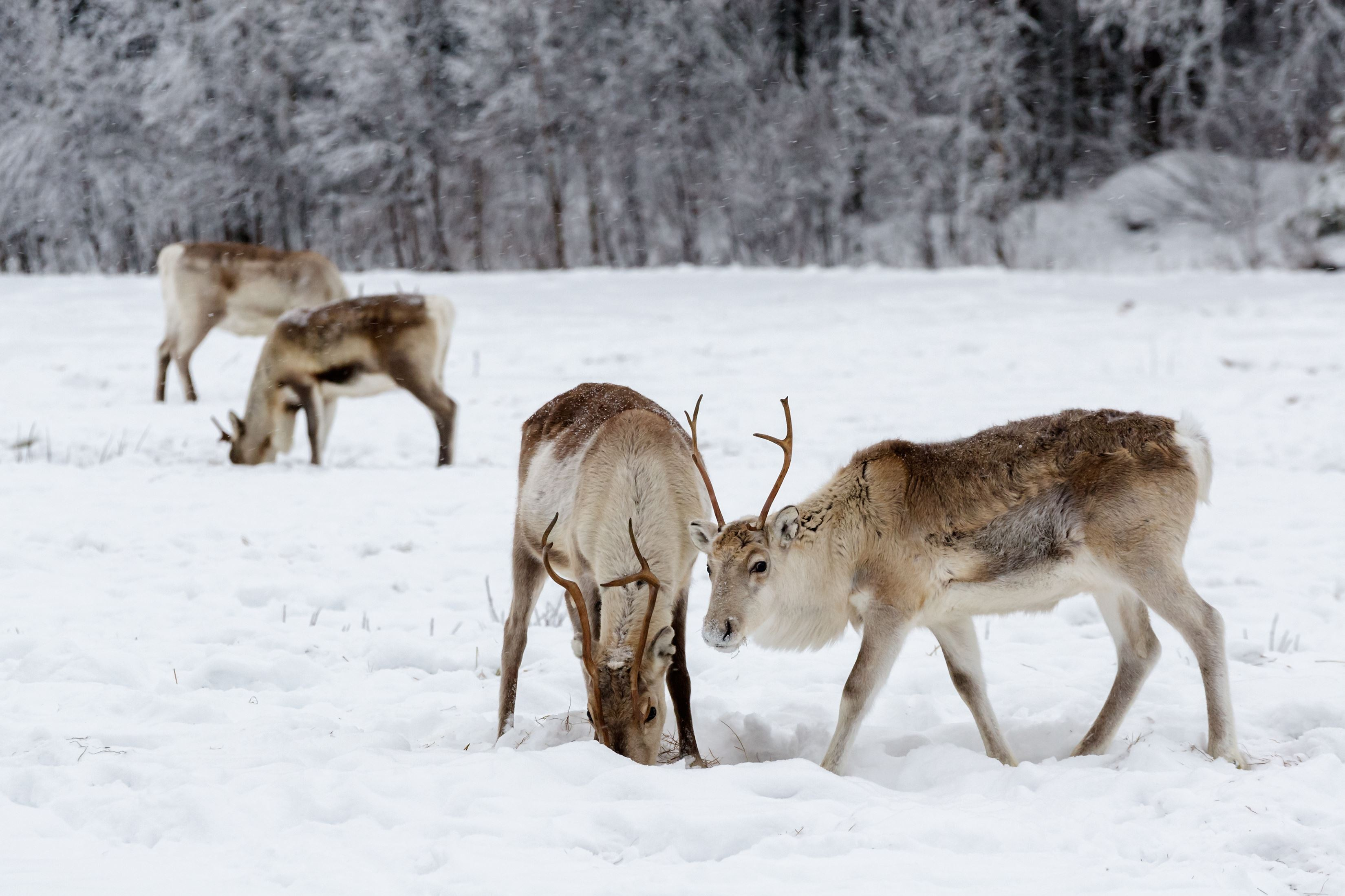 Reindeer feeding - Aurora Alps - Norway