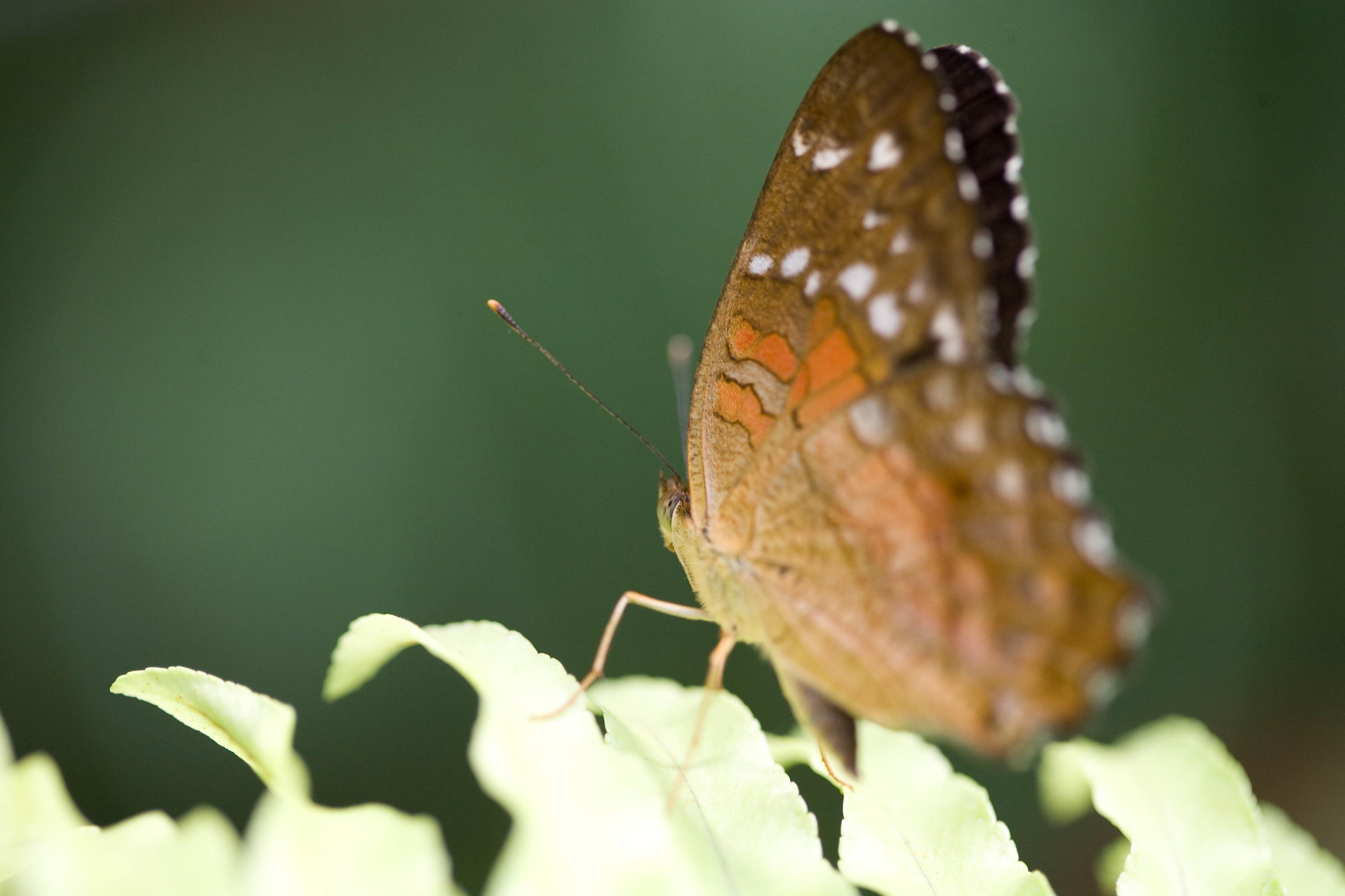 Dagfjärilar i Skåne - fotografi och ekologi
