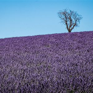 Lavender tour in Roussillon, Lourmarin and Sault, capital of lavender