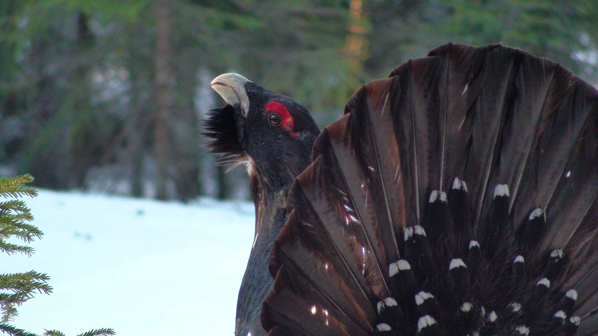 Experience capercaillies and black grouses mating ritual in Finnskogen