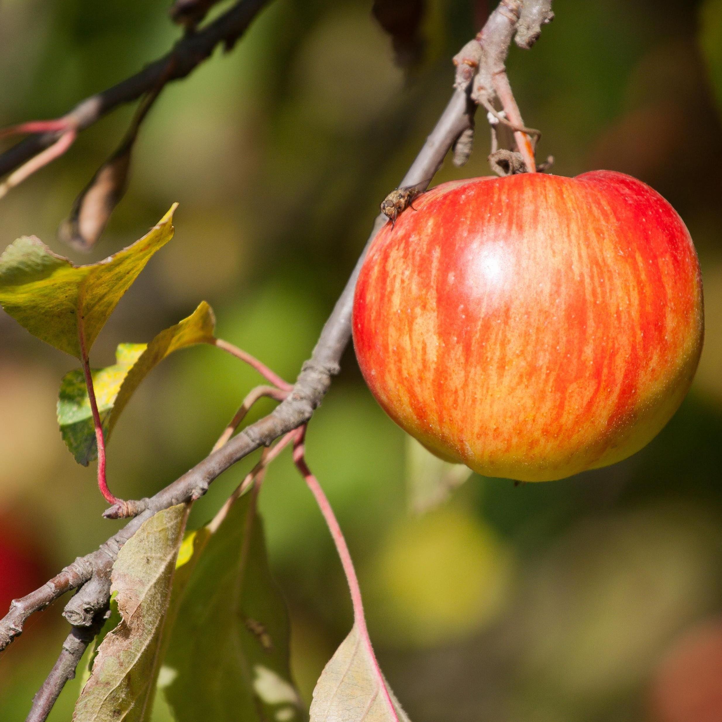 Sång, saga, frukt