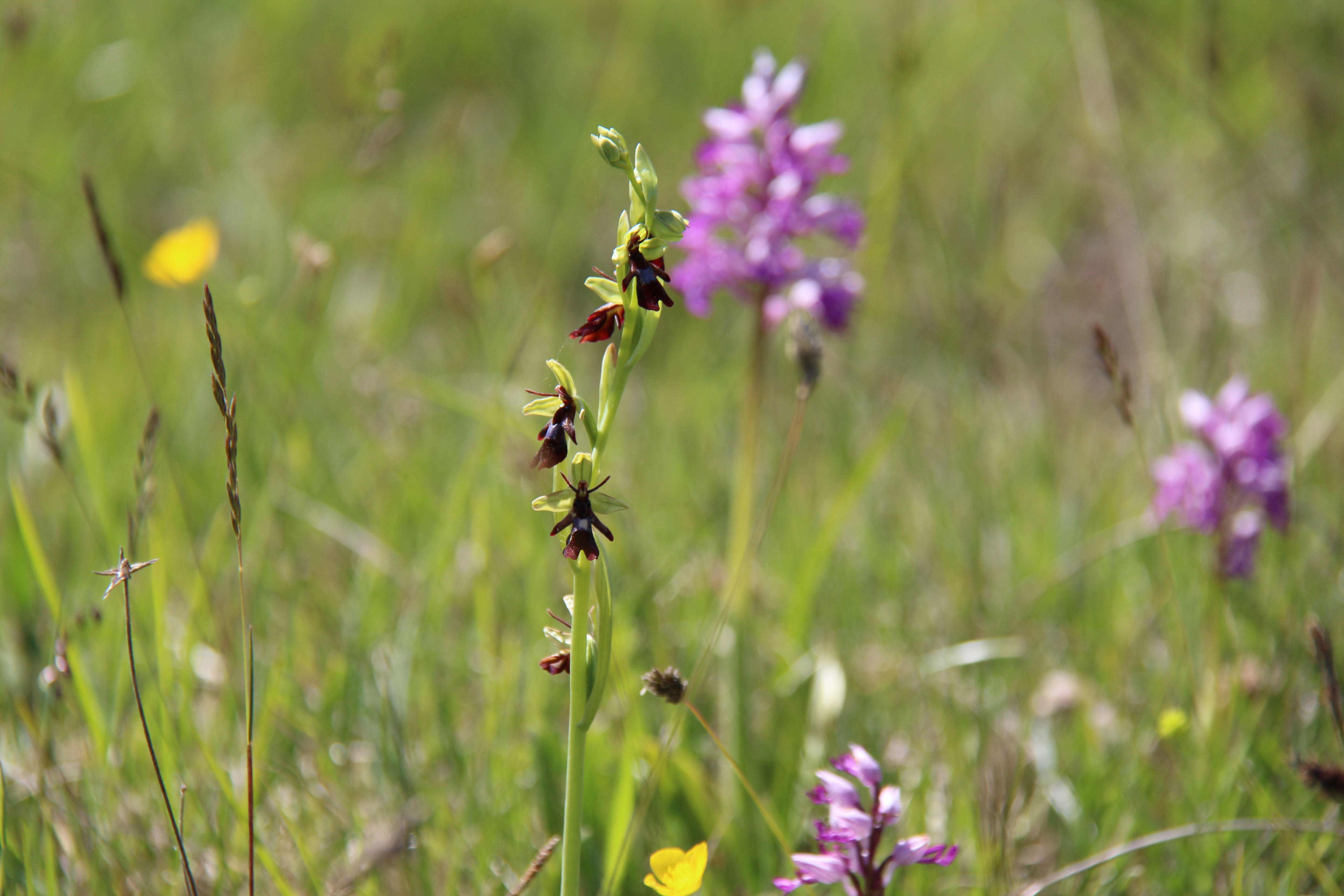 Orkidéguidning i Kastlösa